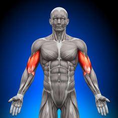 Biceps brachial et brachial antérieur