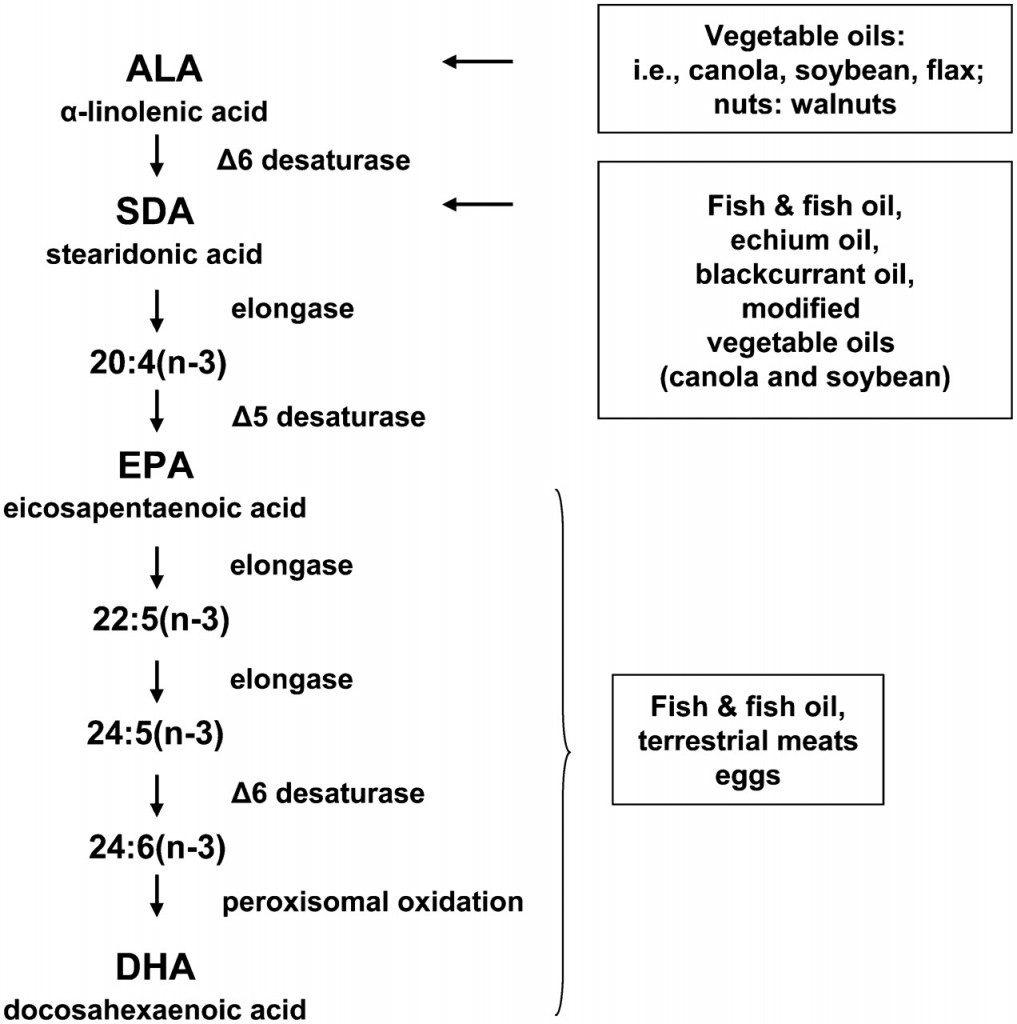 Conversation des oméga-3 ALA en EPA-DHA